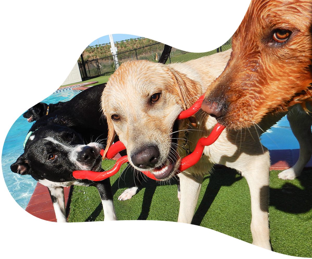 Daycare Dogs playing at the pool